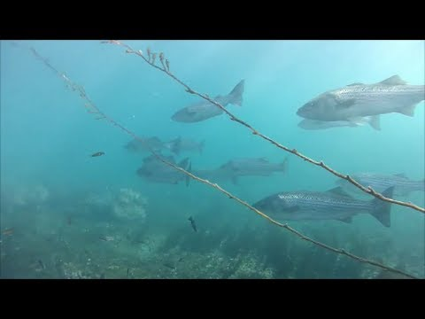 Striped Bass in the Pacific Ocean, 2014