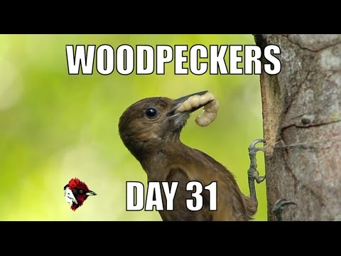 #3 - Smoky-Brown Woodpecker - Day 31 - Biodiversity Shorts