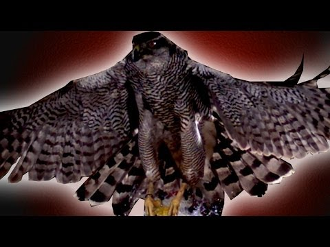 Hawk Attacks Balloon in Super Slow Motion - Slo Mo - Earth Unplugged
