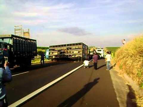Caminhão carregados de boi tombou na SP 294