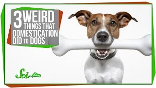 Weird Things Domestication did to Dogs