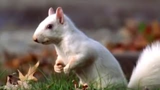 Attenborough: Albino Squirrels in Olney