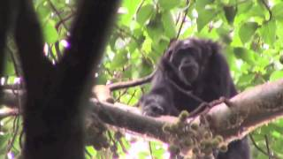 AMONG CHIMPANZEES by Nancy J.  Merrick (book trailer)