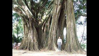 """Bí ẩn """"cụ"""" cây da 400 năm tuổi là nơi trú ngụ của chim, rắn lạ!"""