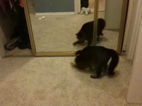 Cat fights her reflection