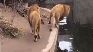 Caídas graciosas de animales