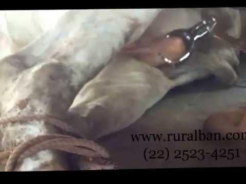Alicate castrador tipo Burdizzo - 48 cm