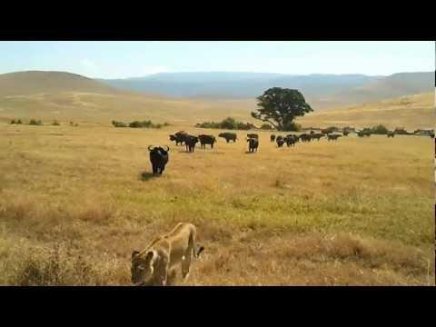 Leones intentando cazar búfalos en el área de conservación de NgoroNgoro (Tanzania)