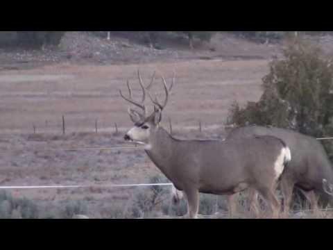 La Caza del Ciervo Mula en Colorado