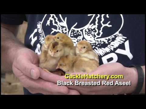 Black Breasted Red Aseel Chicken Breed