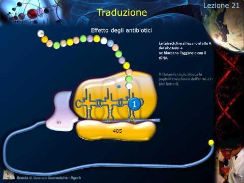 Lezione 21 - Sintesi proteica e codice genetico