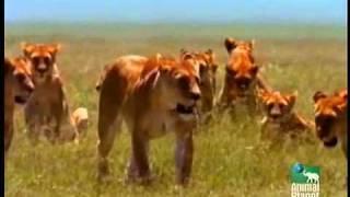 Animal Planet Rei Africano Parte5de51 Www Icyvideo Com