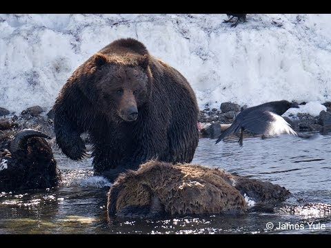 Lee Hardy Grizzlies May 3rd and 4th 2014 Yellowstone National Park
