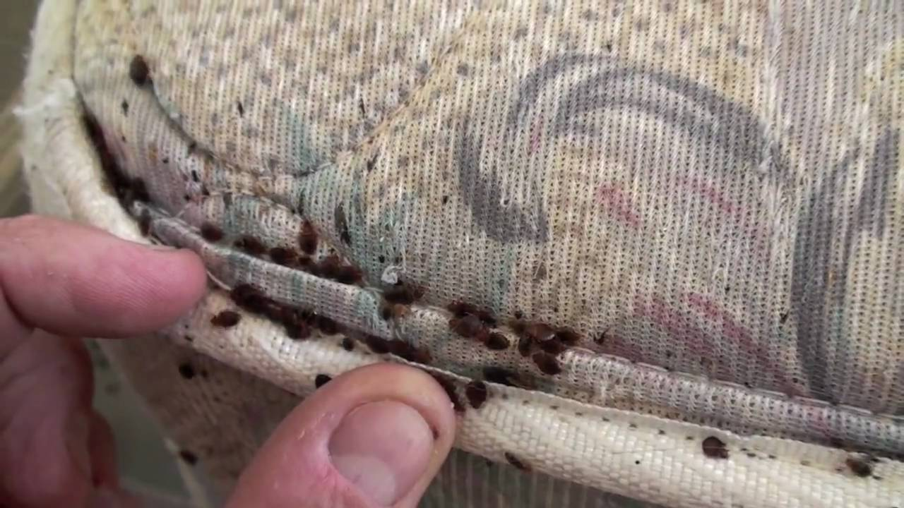 Bed Bug Infestation Youtube