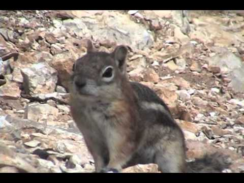 Grand Canyon Ground Squirrel