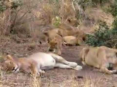 Lion Family3-South Africa