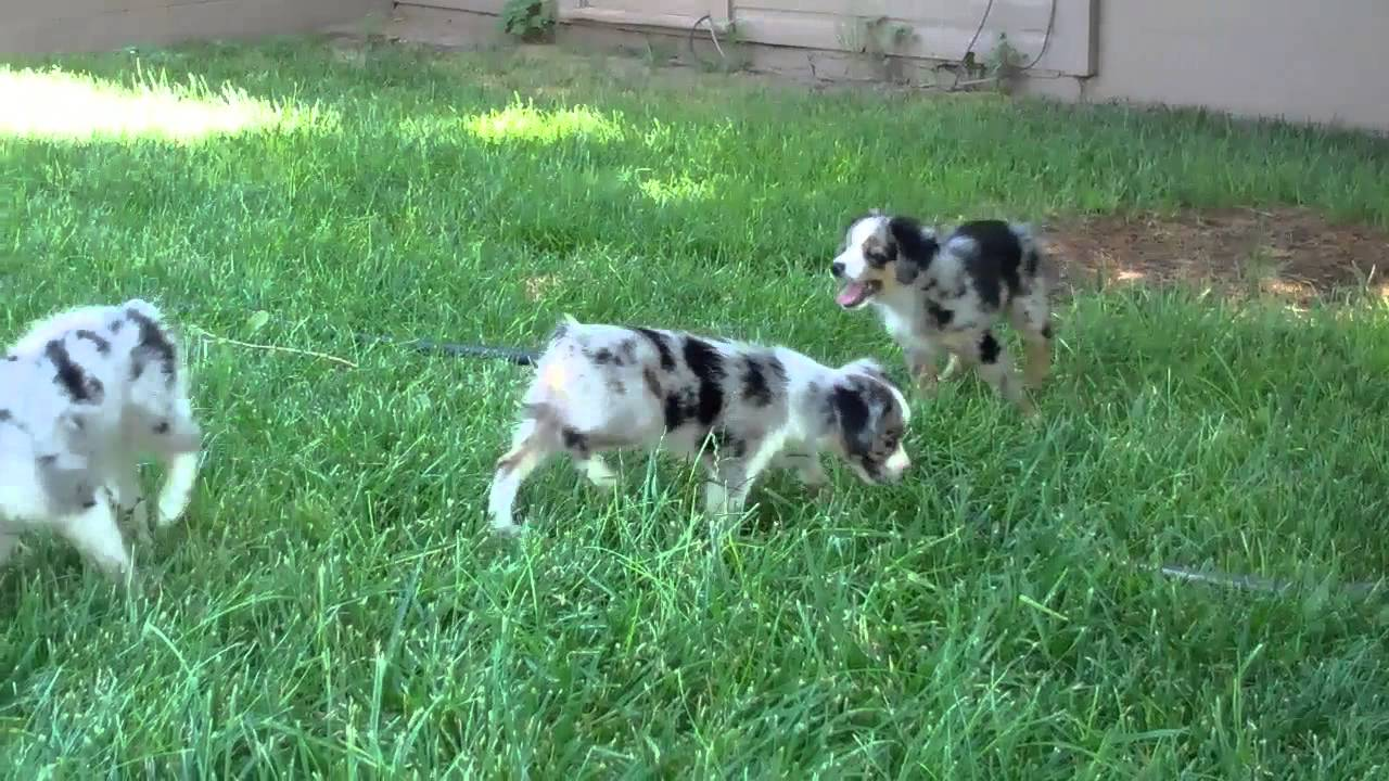 toy australian shepherd puppies for sale in colorado