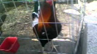 MI GALLO SEMENTAL ROUND HEAD GENE BATIA CON SUSU GALLINAS