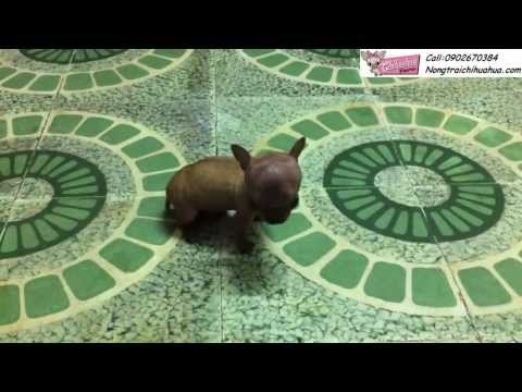 Chihuahua - NongtraiChihuahua - Xi Trum tìm bạn