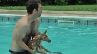プールに迷い込んだ鹿の赤ちゃん。救い出したのにまたプールに逃げ込む