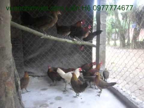 Bán Gà Rừng Tai Trắng-Gà Rừng Lông Đỏ-Giống Gà Rừng Các Loại