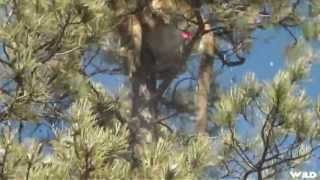 [Mountain Lion Hunt CRAZY!!] Video