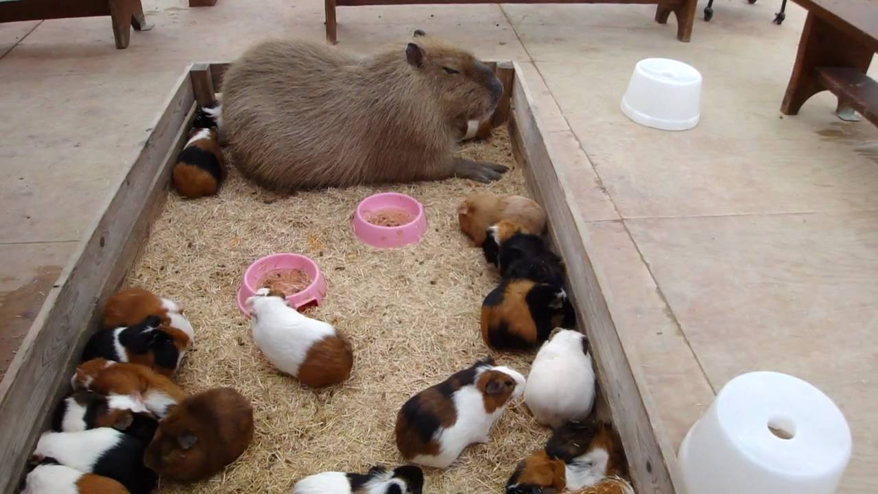 how to get rid of guinea pig lice