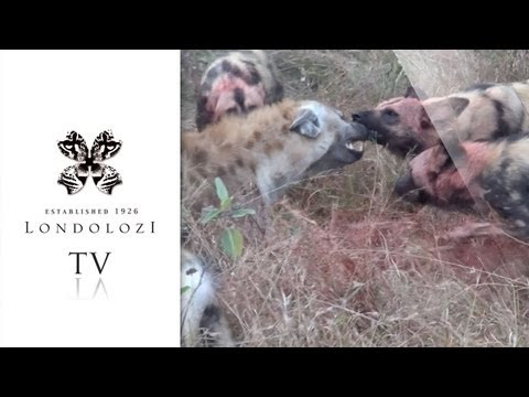 Wild Dogs vs Hyena: Great Sequence - Londolozi TV