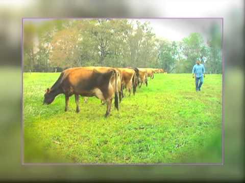Veracruz Agropecuario - Ganado Bovino Jersey - TVMÁS