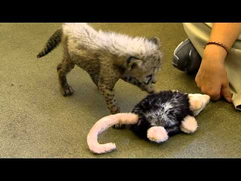 0 Labrador puppy Max and Savanna cheetah cub play at Cincinnati Zoo. An amazing Labrador puppy video!