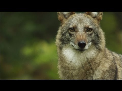 Meet the Coywolf: A New Hybrid Carnivore Roams the City | MetroFocus