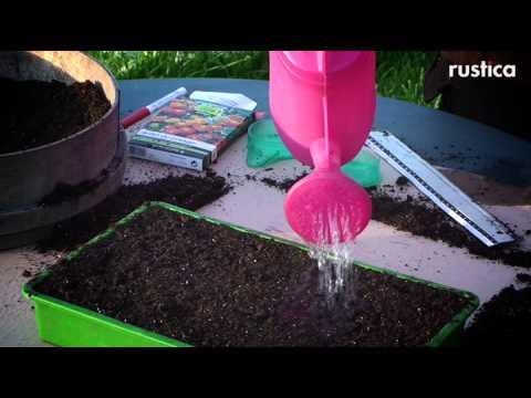 Semis de tomates en terrine youtube - Comment semer des tomates ...