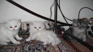 Cute White Persian Cat With Her Kittens! Princes Is