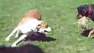 Dog Fight Rottweiler Vs Pitbull