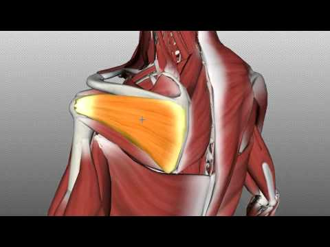 Rotator Cuff Tutorial - Anatomy Tutorial