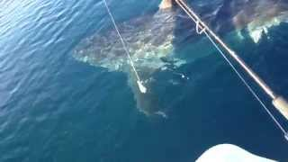 Great White Shark Nearly Attacks Boat In HD Video Near