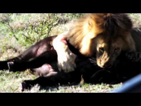 Leões caçando búfalo Tanzania - Serengeti  2011