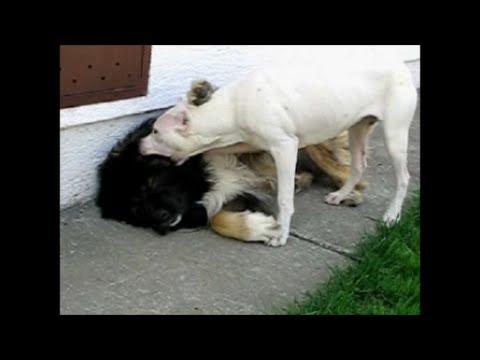Dogo argentino vs caucasian ovcharka youtube