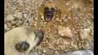 Kangal Vs Boxer Dalaşı