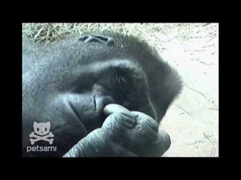 Hungry gorilla picks his nose and eats …