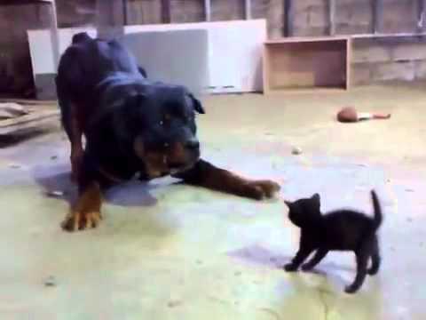 Kotě se Goliáše nebojí! :-D