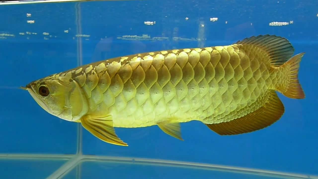 arowana,arowana fish,dragon fish,????????? - YouTube