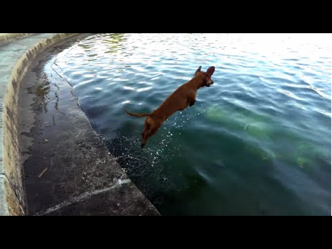 The Michael Phelps of Dachshunds