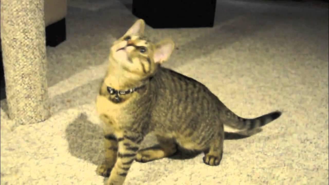 Adorable Kitten Looped...