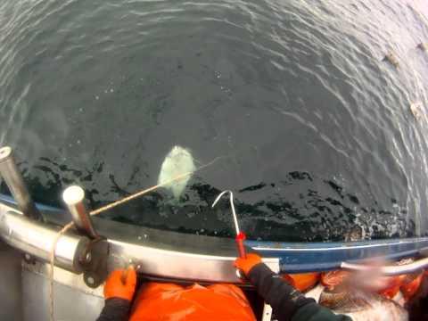 halibut longlining in alaska