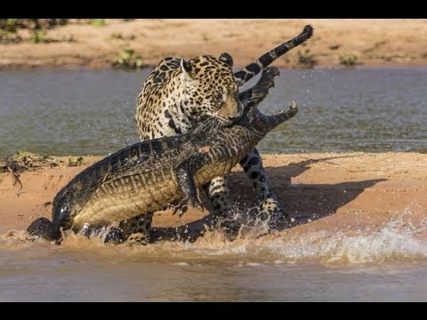 image vidéo نمر الجاكور يفترس تمساح بطريقة عجيبه
