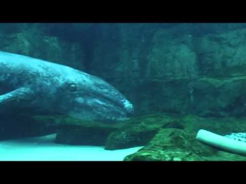 SeaWorld rescued, rehabilitated and returned a young California grey whale | SeaWorld®