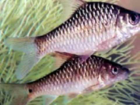 macam-macam ikan air tawar