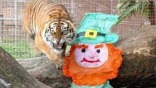 [St Patrick's Day for TIGERS!] Video