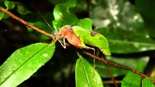 Ze Frank: True Facts About The Leaf Katydid